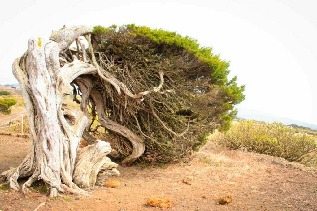 Reiseziel Europa - El Hierro - Spanien - Baum