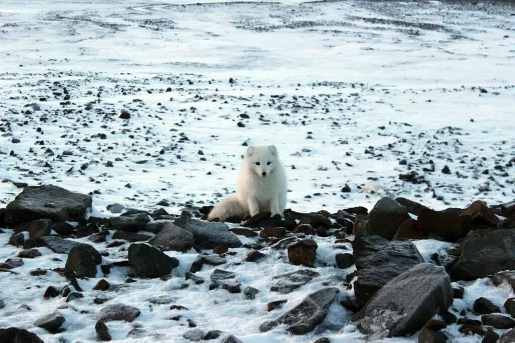 Polarfuchs Spitzbergen Norwegen